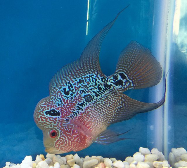 New to Flowerhorn Fish | MonsterFishKeepers com