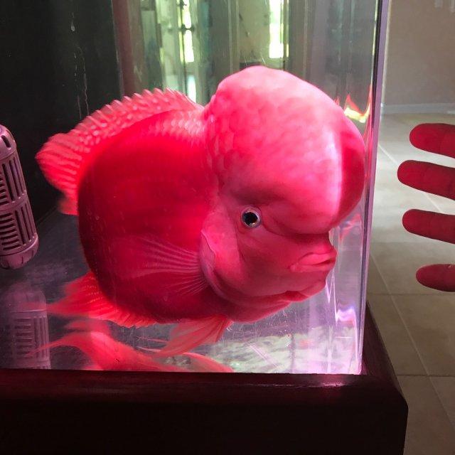 FS | Super Red Monkey Flowrhorn | $200 to 2000 | Corona, CA