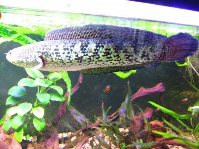 Sexing Channa Aurantimaculata Monsterfishkeepers Com