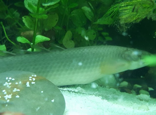 I Need Some Help With My Bichir Monsterfishkeepers Com
