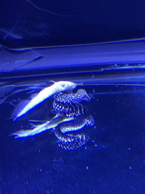 Bichir Killed Silver Arowana Monsterfishkeepers Com