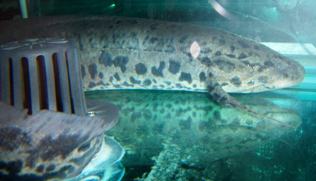 Lungfish 2 foot 2.JPG