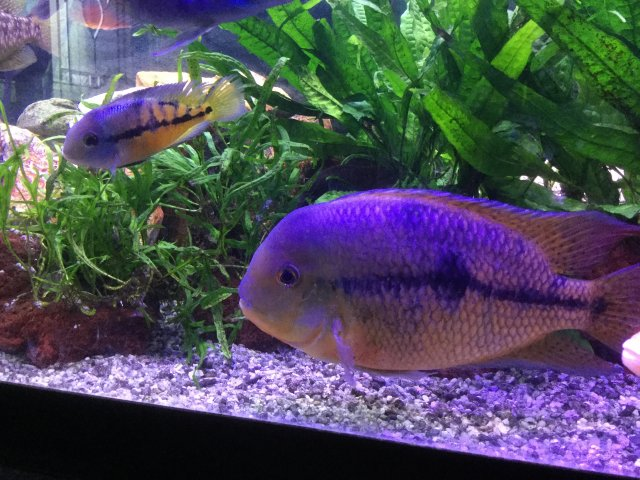 Dimorphism fish freshwater sexual