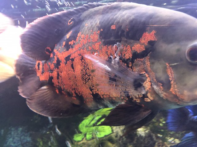 Help! White stringy stuff on Oscar and Jag    MonsterFishKeepers com