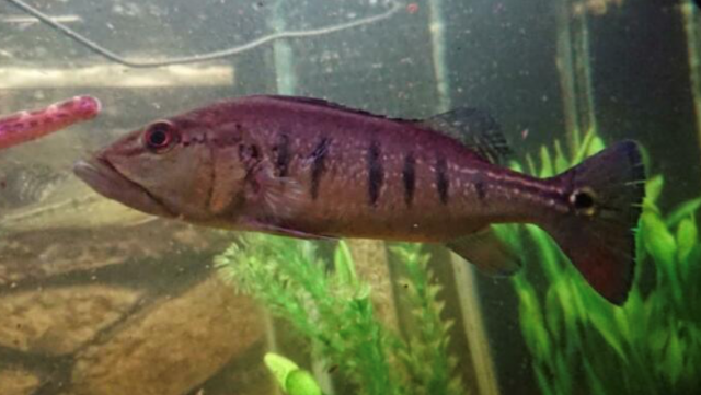 cichla1.png