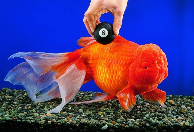 Goldfish-world-record.jpg
