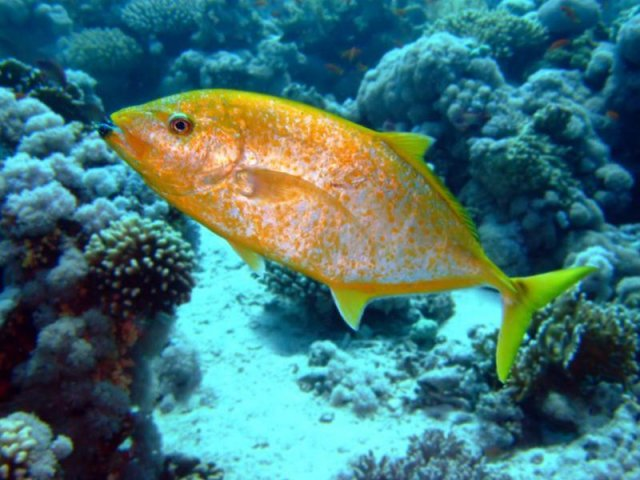yellowspotted-trevally-800x600.jpg