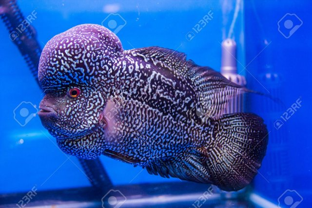 27299426-flowerhorn-cichlid-fish-in-the-aquarium.jpg