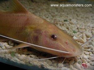Albino Bolt Catfish 2.jpg