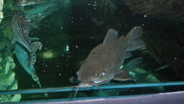 Hoplo Or Porthole Catfish Stories At The Fish Story Monsterfishkeepers Com