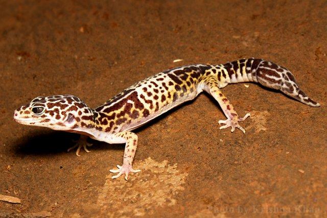 West_Indian_leopard_gecko_Eublepharis_fuscus_by_Krishna_Khan_Amravati.jpg