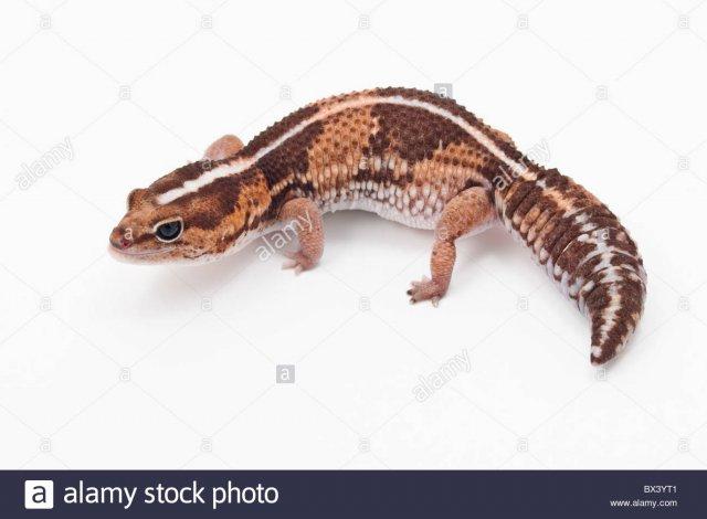 african-fat-tailed-gecko-hemitheconyx-caudicinctus-BX3YT1.jpg