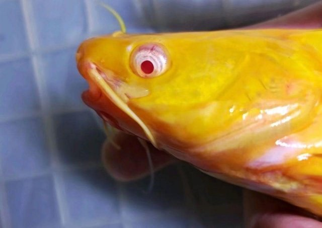 Albino Tachysurus fulvidraco 1.jpg