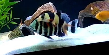 Loach 2.png