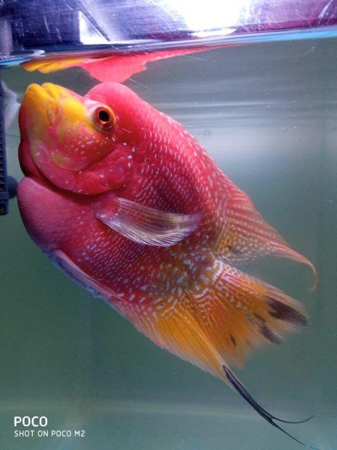 Bonsai Flowerhorn Monsterfishkeepers Com