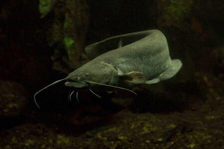 128704691-wels-catfish-sheatfish-silurus-glanis-.jpg