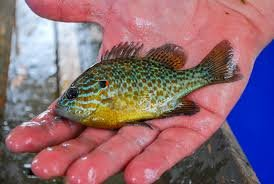Image result for pumpkinseed sunfish