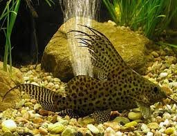 Image result for synodontis eupterus size
