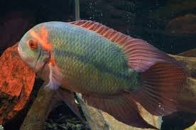 Image result for chocolate cichlid