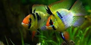Angel Ram Cichlid | Aquarium fish, Tropical freshwater fish, Tropical fish