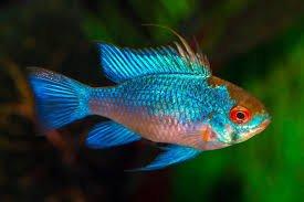Electric Blue Ram Cichlid (Mikrogeophagus ramirezi) Fish Species Profile