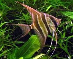 Altum Angelfish – Pterophyllum Altum – Tropical Fish Site