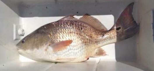 sb red fish.PNG