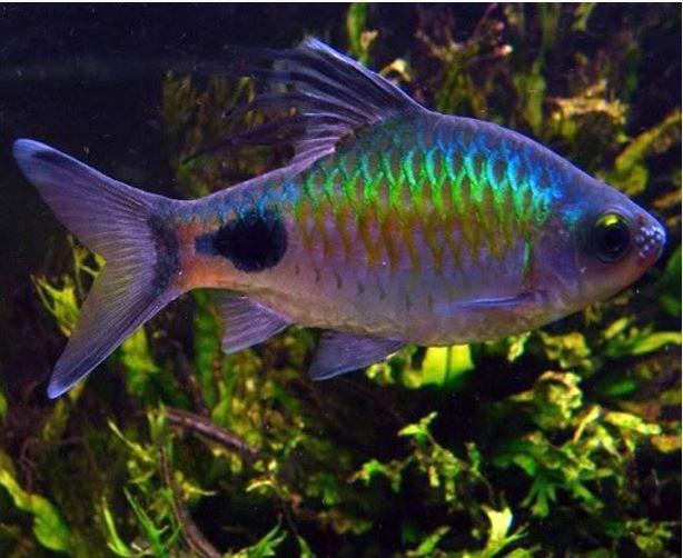 Filament-Barb-Tropical-Fish.jpg