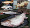 tigerfish types.png