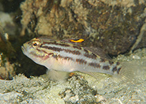 crested goby.jpg