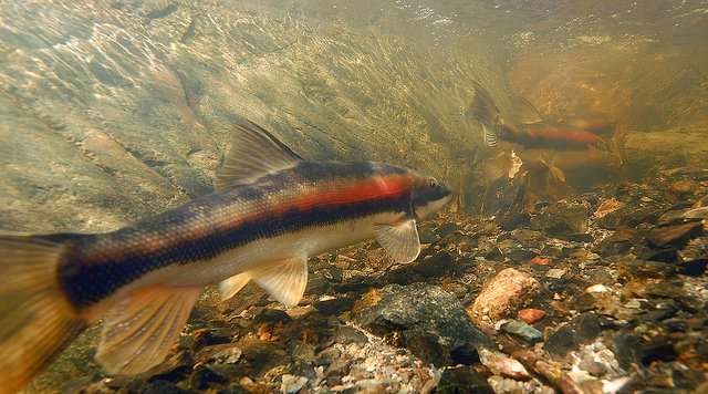Identify your North American Native Fish   MonsterFishKeepers com