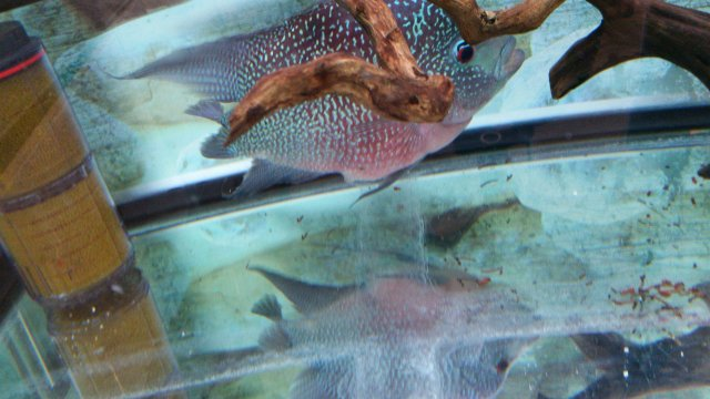 Fat Female Flowerhorn possibly stuck eggs | MonsterFishKeepers com