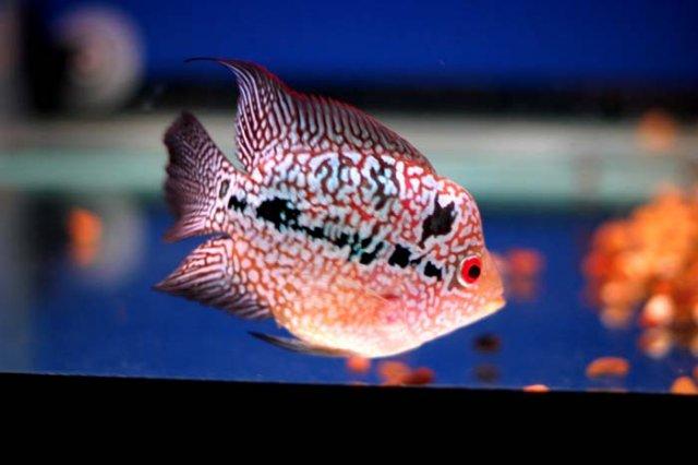 Wtb Sb Flowerhorn Kirin Parrot Bonsai Flowerhorn 10 30 Los Angeles Ca Pickup Monsterfishkeepers Com