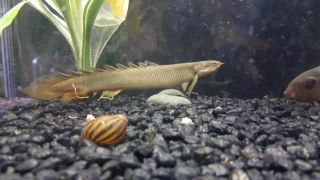 Bichirs Eating Bichirs Monsterfishkeepers Com