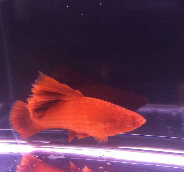 Red Eye Albino Sailfin male.JPG