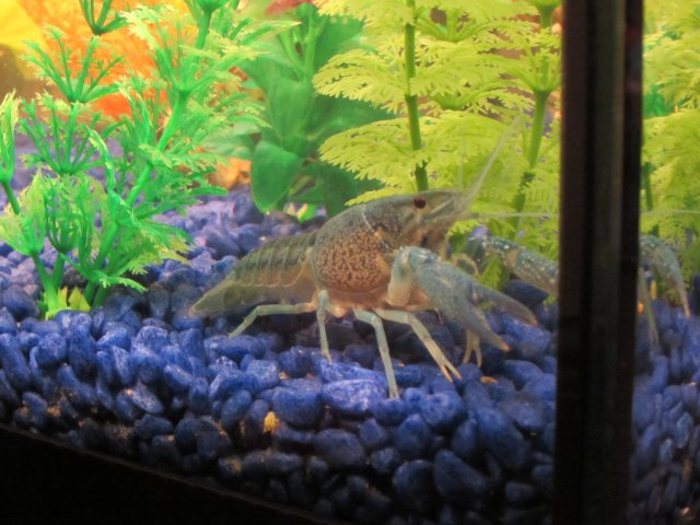 electric blue lobster/crayfish carrying eggs | MonsterFishKeepers.com