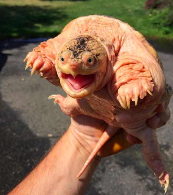 hypo snapping turtle | MonsterFishKeepers com