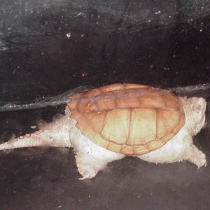 Albino Common Snapping Turtle